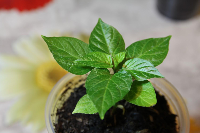 coltivare peperoncino in casa