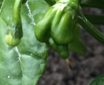 pianta trinidad scorpion