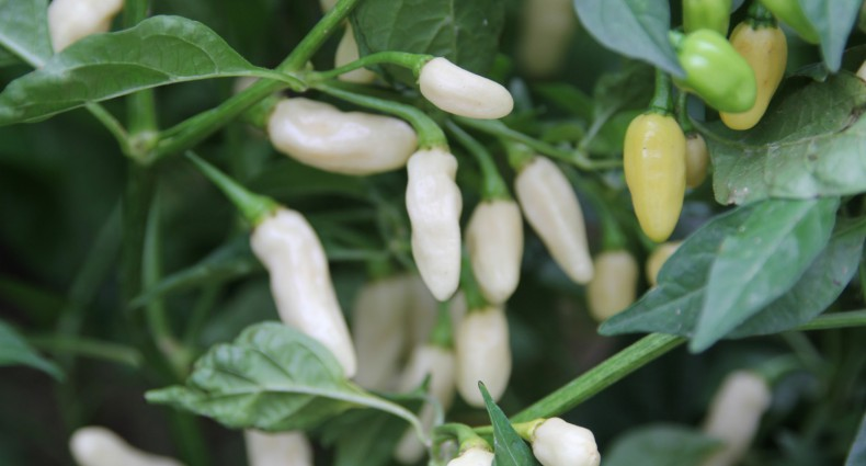 peperoncini habanero white