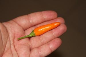 peperoncino bulgarian carrot