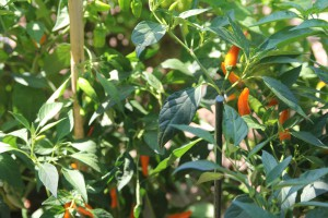 bulgarian carrot peperoncino