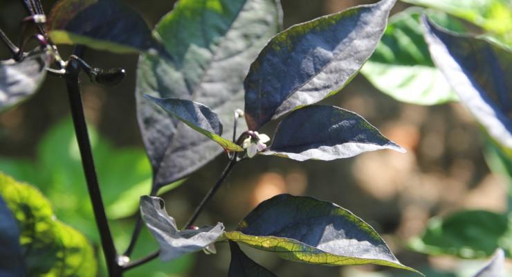 peperoncino foglie nere