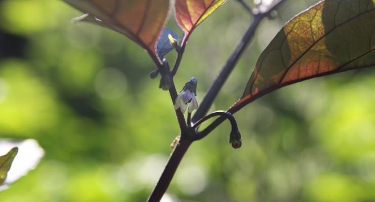 pianta pimenta de neyde