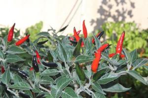 pianta peperoncino acrata
