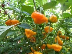 peperoncino jamaican hot