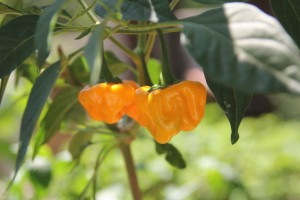jamaican hot yellow peperoncino